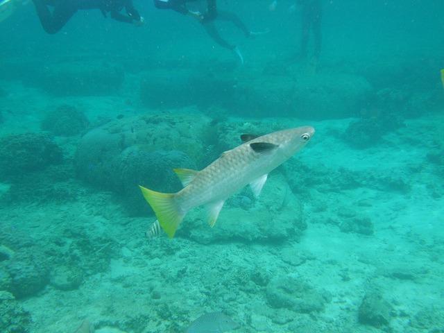 沖縄のお魚 ボラ編