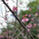 沖縄の寒緋桜(カンヒザクラ)2019年